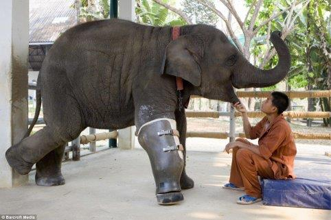 elephant Mosha , prosthetic leg, in 2007 ,save animal,Kindness , Inspirational Quotes, Pictures and Motivational Thought,