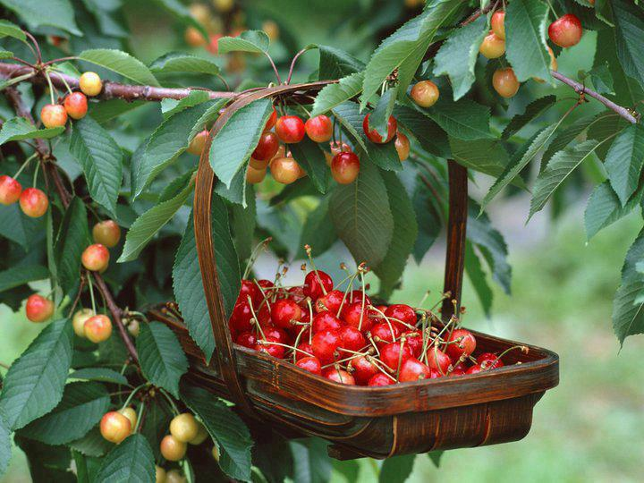 healthy food,life style,living,Top 10 Health Benefits of Cherries: A True Super fruit,Tips,Inspirational Quotes, Pictures and Motivational Thought