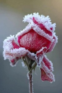 Life,Inspirational Quotes, Motivational Thoughts and Pictures,rose with ice